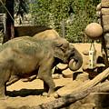 Asian Elephant by Michael Gordon