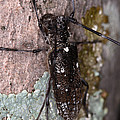 Asian Long-horned Beetle by Ted Kinsman