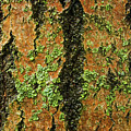 Aspen Bark After The Rain by Ira Marcus
