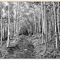 Aspen Forest by Farol Tomson