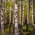 Aspen Trees Canadian Rockies by Blake Webster