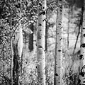 Aspen Trees In Black And White by Vishwanath Bhat