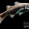 Atlantic Pelagic Basslet by Dant� Fenolio