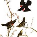 Audubon: Blackbird, (1827) by Granger