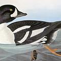 Audubon Duck by John James Audubon