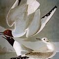 Audubon: Gull by Granger