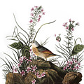 Audubon: Sparrow, (1827-38) by Granger