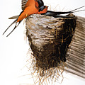 Audubon: Swallow by Granger