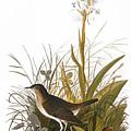 Audubon: Thrush by Granger