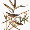 Audubon: Vireo by Granger