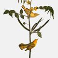 Audubon: Warbler, 1827-38 by Granger