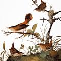 Audubon: Wren by Granger