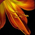 August Flame Glory by Carolyn Jacob