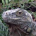 Australia - Kamodo Dragon by Jeffrey Shaw