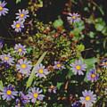 Australian Burr Daisies by Ron Swonger