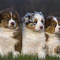 Australian Shepherd Puppies by Jean-Louis Klein & Marie-Luce Hubert
