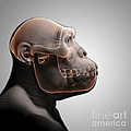 Australopithecus With Skull by Science Picture Co