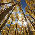 Autumn Aspens by Sue Cullumber