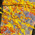 Autumn Beech Leaves by Thomas R Fletcher