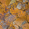 Autumn Leaves by Darrel Giesbrecht