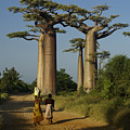 Avenue Des Baobabs by Michele Burgess