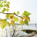 Backlit Poplar Leaves by Alain De Maximy