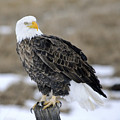 Bald Eagle by Gary Beeler