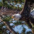 Bald Eagle Launch by Webb Canepa