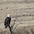 Bald Eagle by Michael Chatt