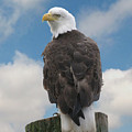 Bald Eagle by Michael Kulakofsky