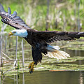 Bald Eagle-3175 by Steve Somerville