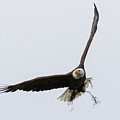 Bald Eagle Works On Its Home by Tony Hake