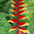 Balinese Heliconia Rostrata by Melly Terpening