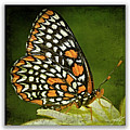 Baltimore Checkerspot by Ingrid Smith-Johnsen