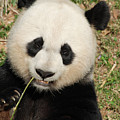 Bamboo Sticking Out Of The Mouth Of A Giant Panda Bear by DejaVu Designs