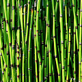 Bamboo by Timothy Johnson