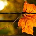 Barbed Autumn by Dariusz Gudowicz