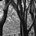 Bare Trees by Karen Matthews