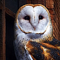 Barn Owl  by Anthony Jones