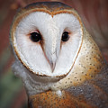 Barn Owl by Elaine Malott