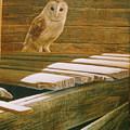 Barn Owl by Steve Greco