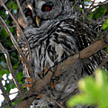 Barred Owl  by David Lee Thompson