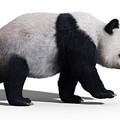 Bear Panda Walking by Martin Cvetkov