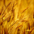 Bearded Barley by Todd Klassy