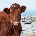 Beautiful Brown Cow On The Burren In Ireland by DejaVu Designs
