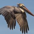 Beautiful Brown Pelican by Paulette Thomas