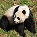 Beautiful Giant Panda Bear In The Wild by DejaVu Designs