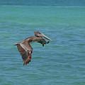 Beautiful Pelican In Flight Over The Water In Aruba by DejaVu Designs
