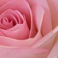 Beautiful Pink Rose Closeup by Michael Shake