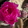 Beavertail Cactus Blossom 2 by Kelley King
